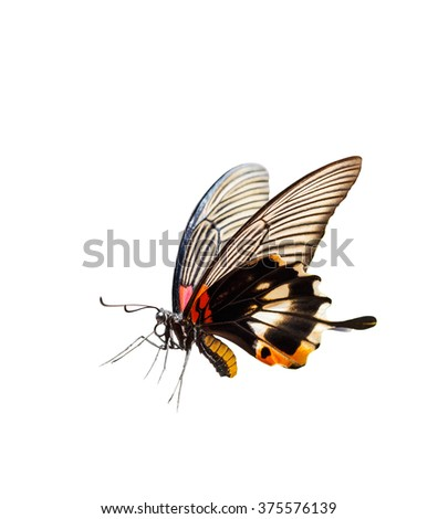 Isolated female yellow body Great mormon Butterfly  with clipping path - stock photo