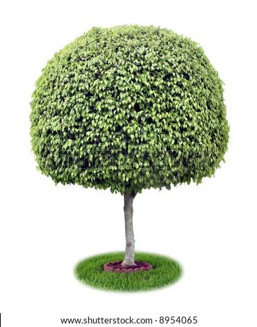Isolated ficus tree [ficus benjamina]. - stock photo