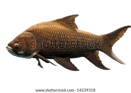 Isolated Fish - stock photo