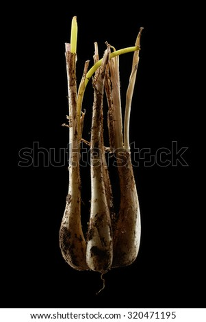 isolated flesh Shallots on pure black background
