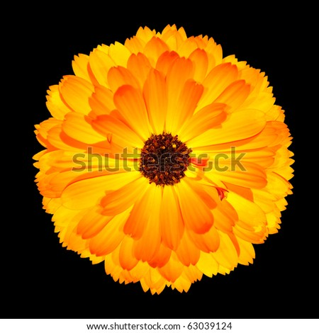 Isolated Flowehead of One Blossoming Orange Pot Marigold Flower - Beautiful Calendula officinalis Isolated on Black Background. Top view - stock photo
