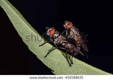 isolated fly having sex on the black background close up macro - stock photo