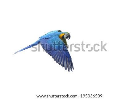 Isolated flying blue-and-yellow Macaw- Ara ararauna from side - stock photo