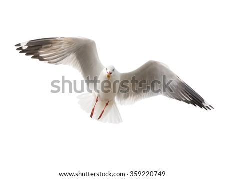 isolated flying common seagull on white background. - stock photo