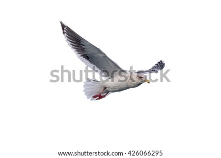isolated flying common seagull on white background. Seagull, Seagulls flying, Seagulls flying in the air - stock photo
