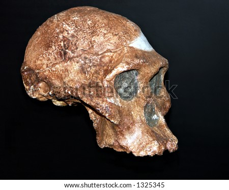 Isolated fossilized early humanoid skull - stock photo