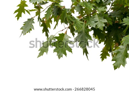 isolated frame in the upper right corner of the green maple leaves - stock photo