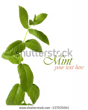 Isolated fresh mint branch - stock photo