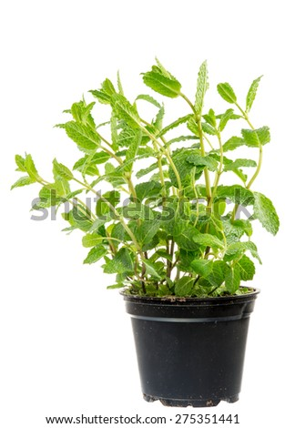 Isolated fresh mint plant in a flower pot - stock photo