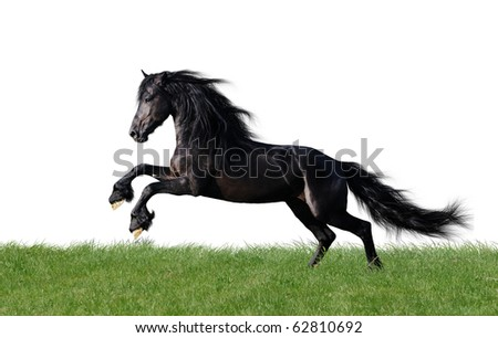 isolated friesian horse playing on the grass - stock photo