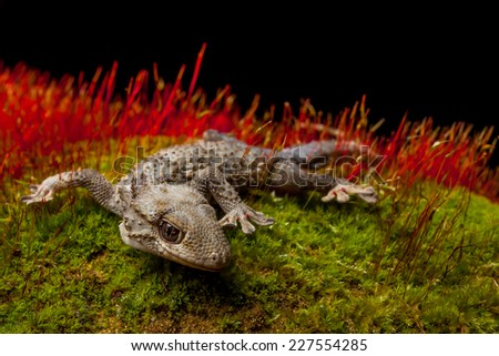Isolated Geco portrait on the moss with grazing red light on the background grass - stock photo