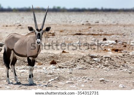 Isolated Gemsbok Oryx standing on the dry Etosha Plains - Namibia - stock photo