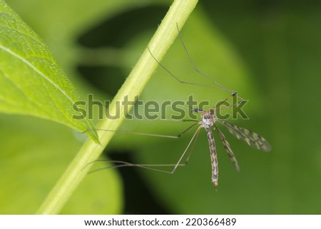 Isolated Giant tiger mosquito fly on green background