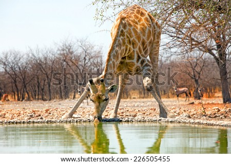 Isolated Giraffe drinking from the camp waterhole in Etosha with a Gemsbok Oryx in background - stock photo
