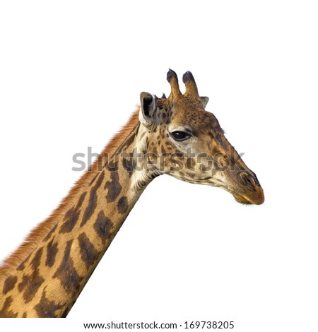 Isolated giraffe head on white background