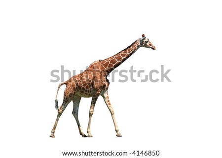 Isolated giraffe over white background - stock photo