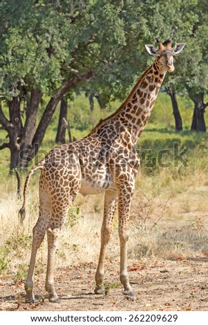 Isolated Giraffe standing in the bush in South Luangwa