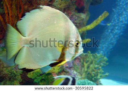 isolated Golden Fish swimming in an Aquarium