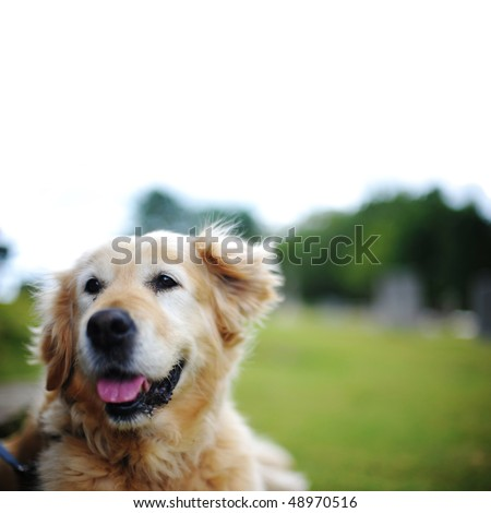 Isolated Golden Retriever Lying Down Outside - stock photo