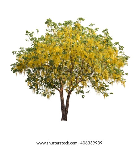 Isolated golden shower tree on white background, summer plant tree - stock photo