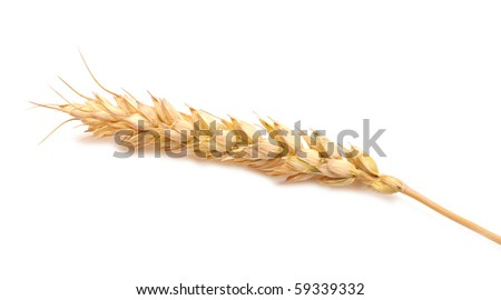 isolated golden wheat ear after the harvest - stock photo