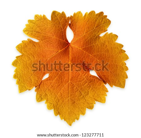 Isolated Grape Vine Leaf