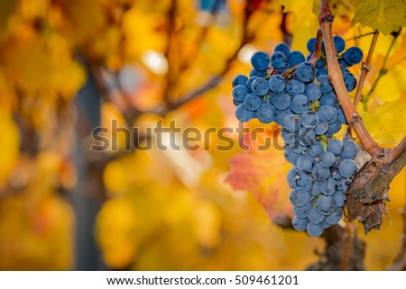Isolated grapes in a vineyard on a sunny day