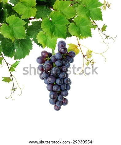 Isolated grapevine and blue grape - stock photo