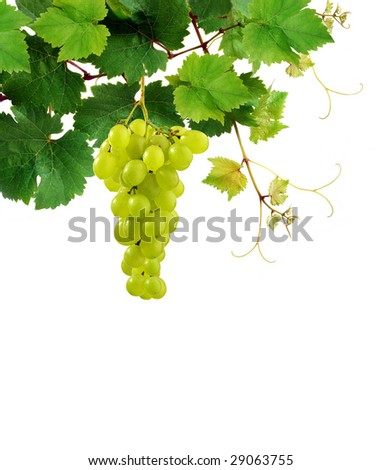 Isolated grapevine with grape cluster - stock photo
