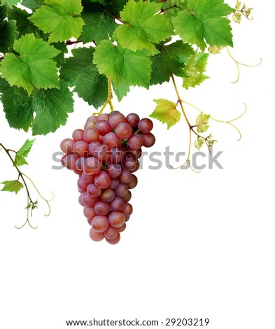 Isolated grapevine with pink grape cluster - stock photo