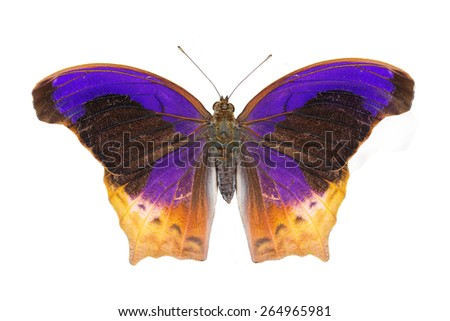 Isolated Great Assyrian (Terinos atlita) butterfly with clipping path - stock photo
