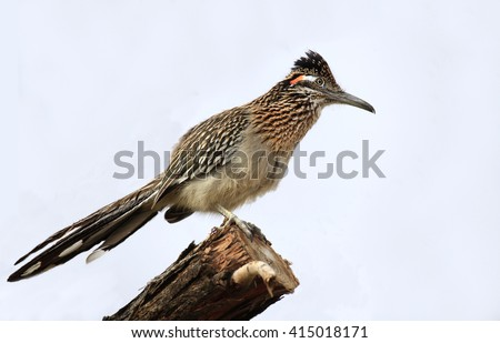 Isolated Greater Roadrunner on a Tree Branch - stock photo