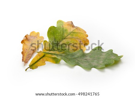 Isolated green and yellow oak leaves on the white background