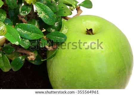 Isolated green apple under wet bonsai tree close-up