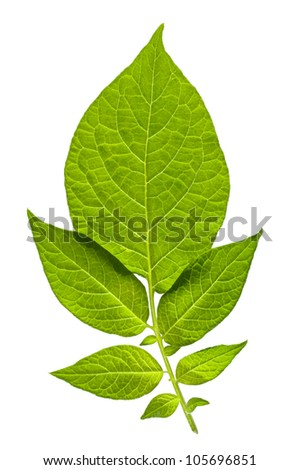 Isolated green backlit leaves - stock photo