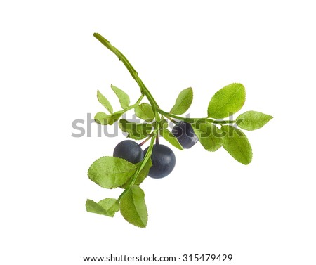 Isolated green branch of blueberry with berries on the white