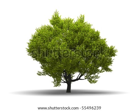 Isolated green broadleaf tree at white background with shadow