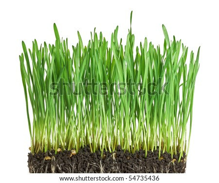 Isolated green grass with ground on white background - wheat sprouts (corn shoots) - stock photo