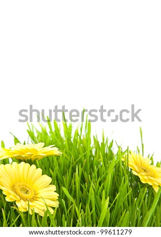 Isolated green grass with yellow flowers on a white background