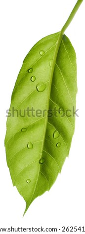 Isolated green leaf with water drops