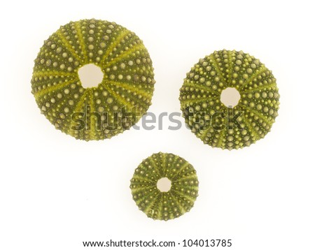Isolated green sea urchins on a white background - stock photo