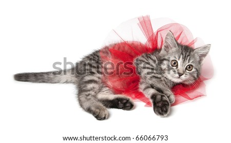 Isolated grey kitten with funny red skirt