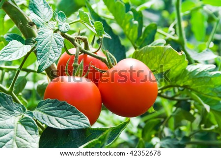 Isolated growing three fresh red tomatoes with green leaves - stock photo