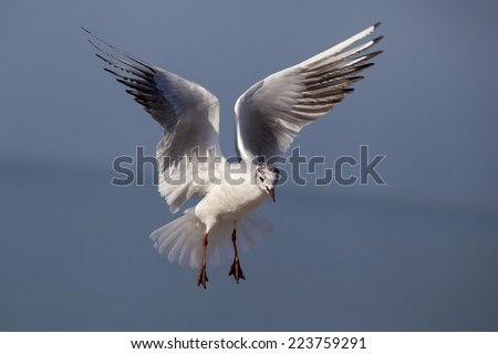 Isolated Gull fly in a blue sky