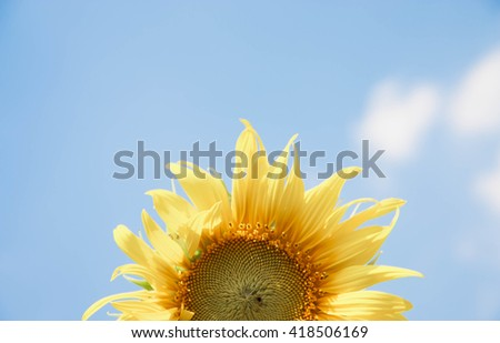 Isolated half sunflower against a blue sky