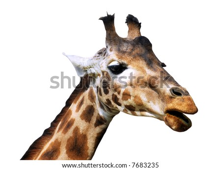 Isolated head giraffe
