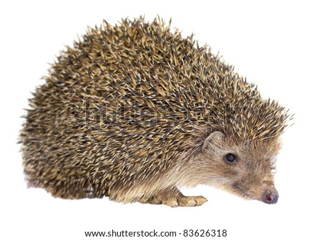 Isolated Hedgehog - stock photo