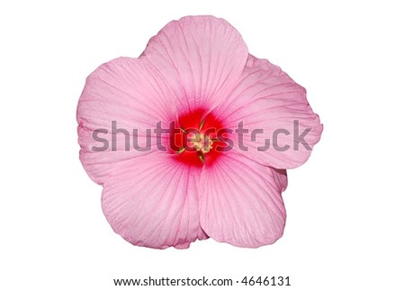 isolated hibiscus flower against white background