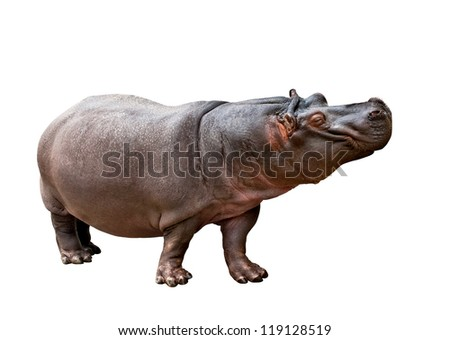 Isolated hippopotamus on white background making the face - stock photo