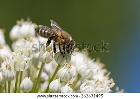 Isolated honey bee collecting nectar on a flower  - stock photo